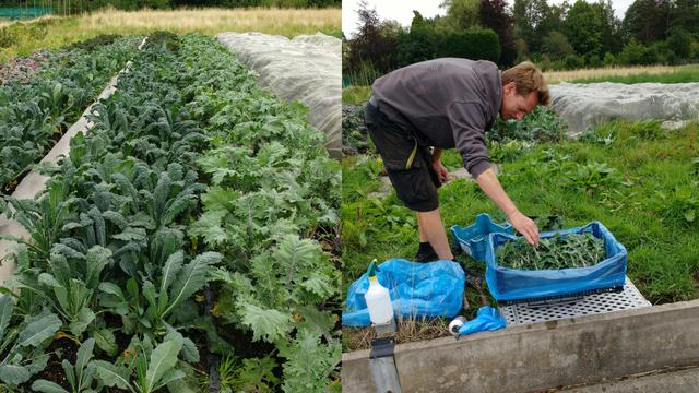 Dan harvesting Kale